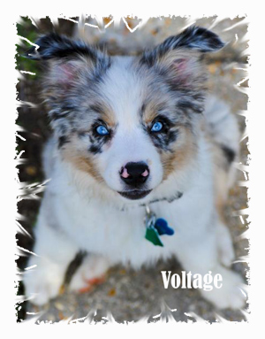 Wisdom Kennels New Orleans Louisiana Miniature Australian Shepherds Akc Registered Aussie Puppies For